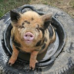 Piglet in a tyre at Laineys Farm, a day care centre for adults with learning disabilities