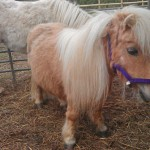 Ponies at Laineys Farm, a centre for adults with learning difficulties near Staplehurst, Kent